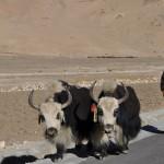 Yaks onderweg