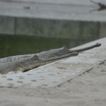 Gharial krokodil