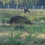 Europese bizon
