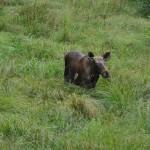 Een moose